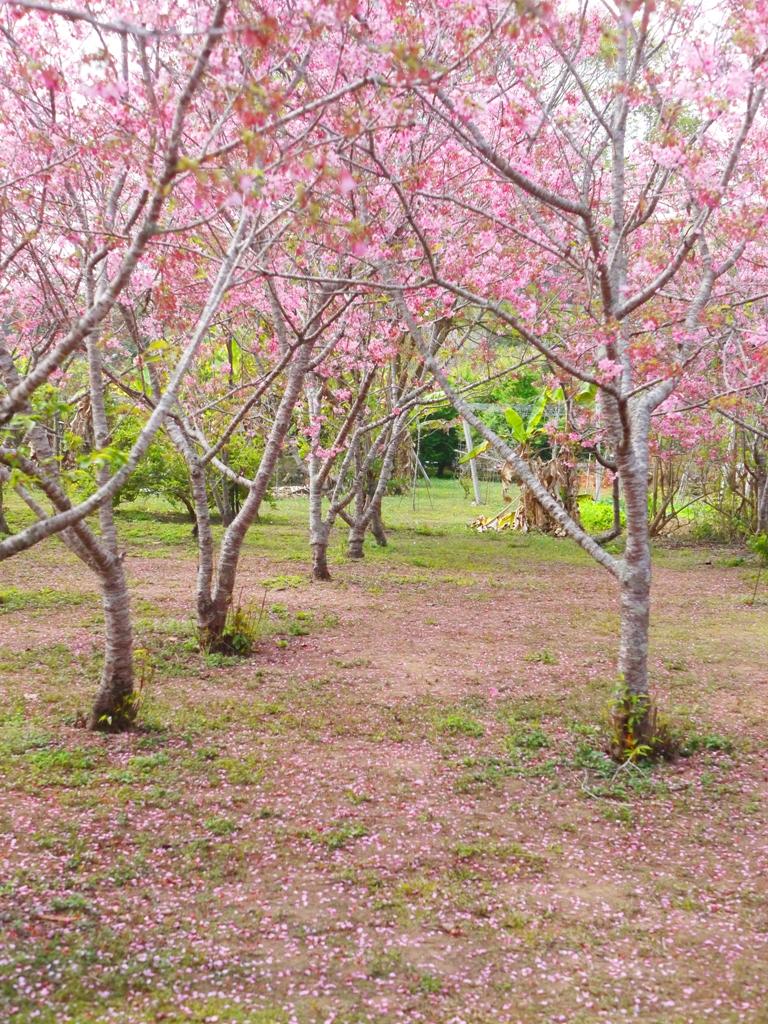 美麗的櫻花並木 | 滿是櫻花花瓣的粉紅地毯 | 富士櫻の櫻花秘境 | 新社 | 台中 | 巡日旅行攝