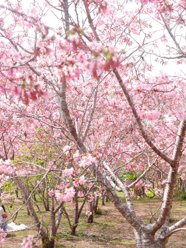 縱橫交錯的富士櫻櫻花海 | 粉紅花海 | 富士櫻の櫻花秘境 | 新社 | 台中 | 巡日旅行攝