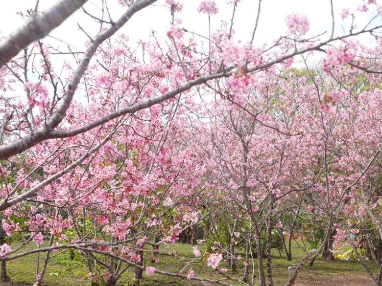 富士櫻 | 小豆櫻 | Sakura | さくら | サクラ | 富士櫻の櫻花秘境 | 新社 | 台中 | 巡日旅行攝