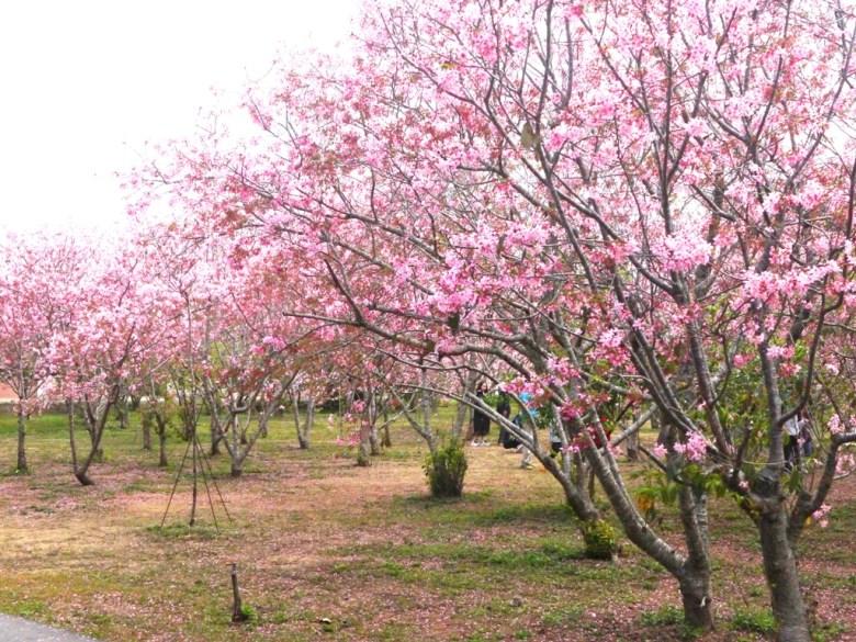 廣闊而密集的富士櫻 | 臺灣旅人 | 學士服 | 網美景點 | 富士櫻の櫻花秘境 | 新社 | 台中 | 巡日旅行攝