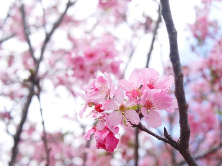 富士櫻與天空 | 小豆櫻 | 富士櫻の櫻花秘境 | 新社 | 台中 | 巡日旅行攝