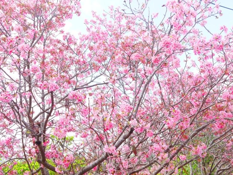盛開的富士櫻 | 小豆櫻 | 富士櫻の櫻花秘境 | 新社 | 台中 | 巡日旅行攝