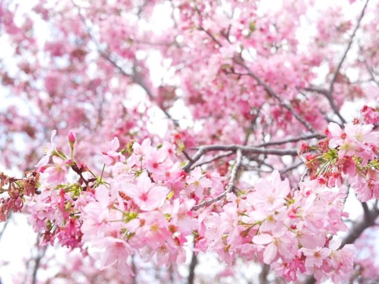 滿開的富士櫻 | 豆櫻 | 小豆櫻 | 富士櫻の櫻花秘境 | しんしゃ | Xinshe | Taichung | RoundtripJp