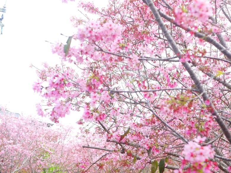 被富士櫻環抱的美麗景點 | 網美景點 | 富士櫻の櫻花秘境 | 新社 | 台中 | 巡日旅行攝