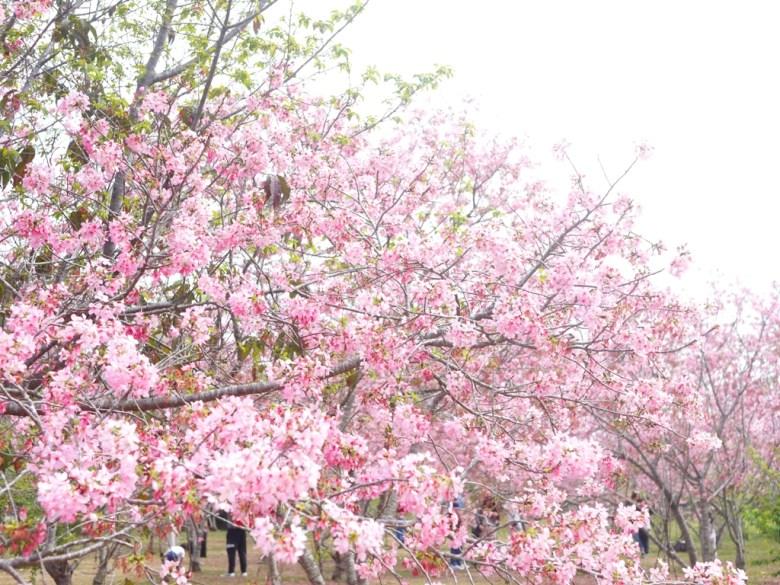 臺灣旅人 | 網美景點 | 拍好拍照的賞櫻民眾 | 富士櫻の櫻花秘境 | しんしゃ | Xinshe | Taichung | RoundtripJp