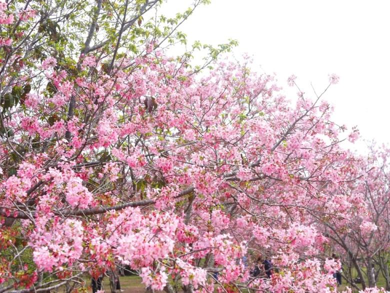 賞櫻民眾 | 不擁擠 | 人潮不多 | 富士櫻の櫻花秘境 | 新社 | 台中 | 巡日旅行攝