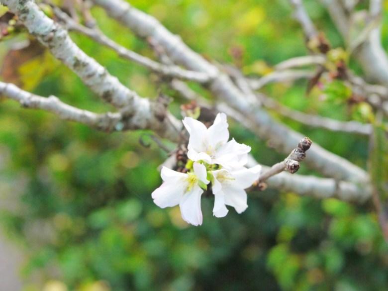 有香味的櫻花 | 香水櫻 | 墨染櫻 | 變色櫻 | 特別的櫻花 | 富士櫻の櫻花秘境 | 新社 | 台中 | 巡日旅行攝
