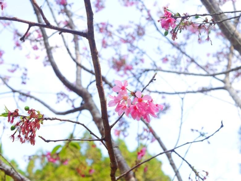 吉野櫻 | 櫻花 | 日本味 | 金龍山觀景臺 | ユーチー | Yuchi | Nantou | RoundtripJp