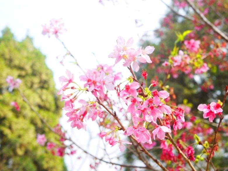 吉野櫻 | 粉嫩粉紅 | 日本風情 | 魚池 | 南投 | ユーチー | Yuchi | Nantou | 巡日旅行攝