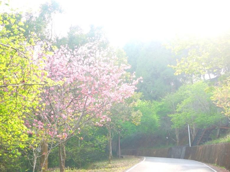 沿途的櫻花 | 日本味 | 金龍山觀景臺 | 魚池 | 南投 | ユーチー | Yuchi | Nantou | RoundtripJp