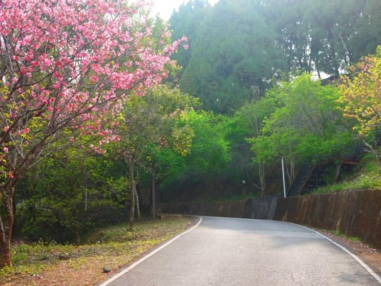 沿途的櫻花 | 日本味 | 金龍山觀景臺 | 魚池 | 南投 | ユーチー | Yuchi | Nantou | 巡日旅行攝