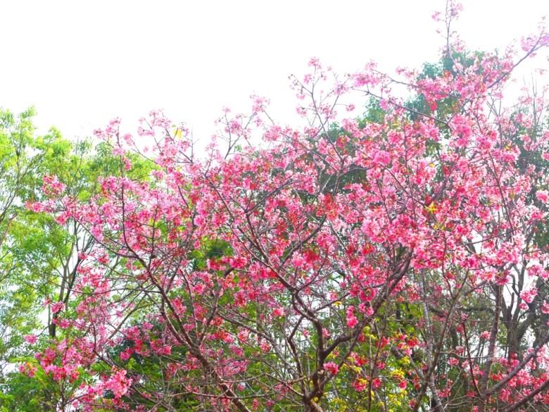 盛開的美麗櫻花 | 吉野櫻 | 日本風情 | 金龍山觀景臺 | 魚池 | 南投 | ユーチー | Yuchi | Nantou | RoundtripJp
