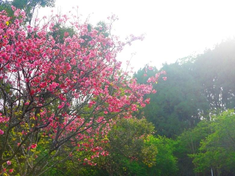 吉野櫻 | 日本味 | 自然的綠 | 金龍山觀景臺 | 魚池 | 南投 | ユーチー | Yuchi | Nantou | RoundtripJp