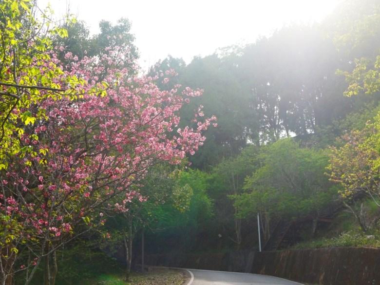 車道 | 沿途的櫻花 | 日本風情 | 金龍山觀景臺 | 魚池 | 南投 | ユーチー | Yuchi | Nantou | 巡日旅行攝
