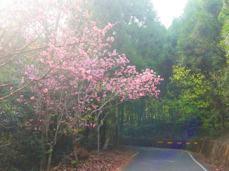 沿途的櫻花 | 吉野櫻 | 和風韻味 | 金龍山觀景臺 | 魚池 | 南投 | ユーチー | Yuchi | Nantou | 巡日旅行攝