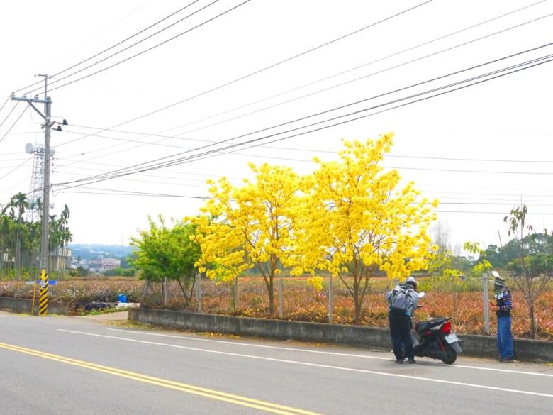 大滿開的黃花風鈴木 | 臺灣旅人 | 139縣道 | 盛開 | 黃金風鈴木 | 芬園 | 彰化 | 一抹和風 | 巡日旅行攝