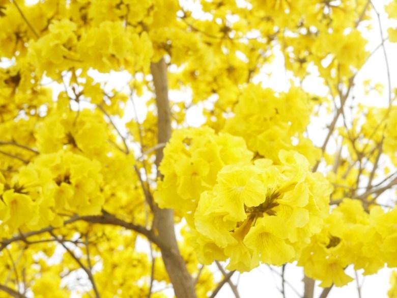 滿開的黃花風鈴木 | 黃金浪漫 | 金黃美麗 | 139縣道 | 芬園 | 彰化 | 和風巡禮 | RoundtripJp