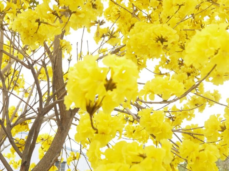 滿開的黃花風鈴木 | 美麗動人 | 139縣道 | 盛開 | Fenyuan | Changhua | RoundtripJp