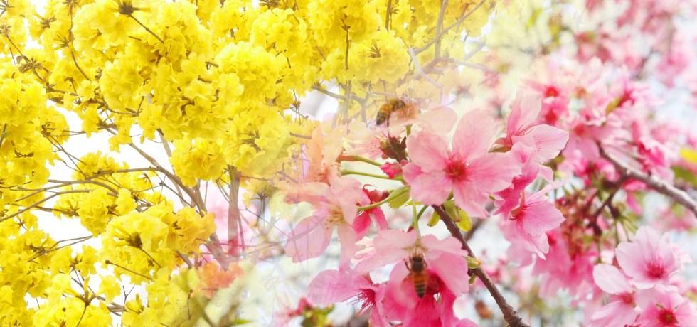 一路欣賞滿開的黃花風鈴木與絕美富士櫻之美 | 富士櫻櫻花大道 | 芬園鄉139縣道 | 巡日旅行攝