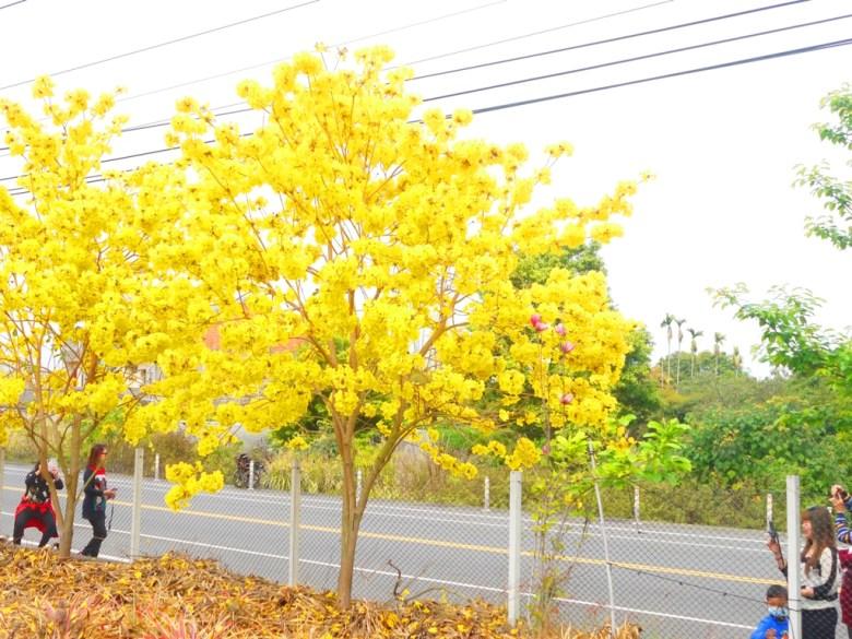 欣賞滿開的黃花風鈴木的臺灣旅人 | 駐足拍照 | 139縣道 | 盛開 | Fenyuan | Changhua | 巡日旅行攝