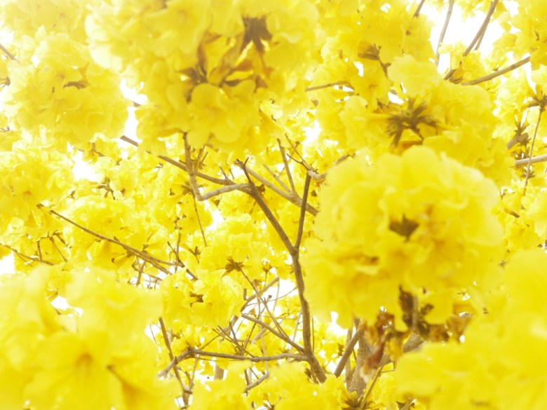 將整個天空填滿的黃金風鈴木 | 金黃色天空 | 139縣道 | 盛開 | Fenyuan | Changhua | 巡日旅行攝