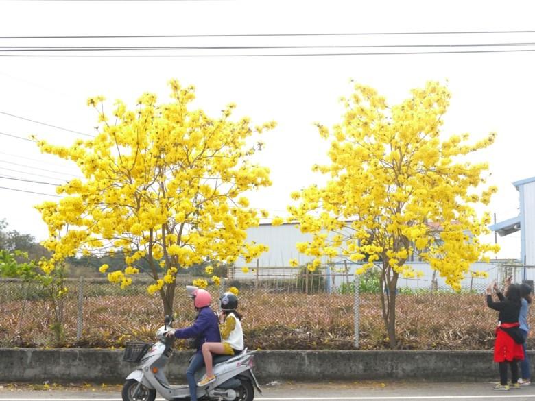 139縣道上的小確幸 | 大滿開的黃花風鈴木 | 拍照的臺灣旅人 | Fenyuan | Changhua | 巡日旅行攝