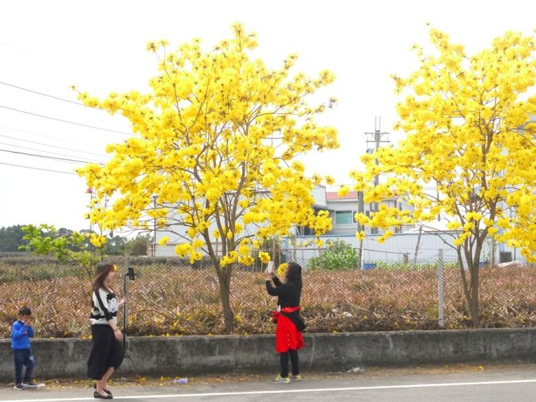 認真拍照的臺灣旅人 | 黃花風鈴木 | 芬園鄉139縣道 | ふんえん | ジャンホワ | RoundtripJp