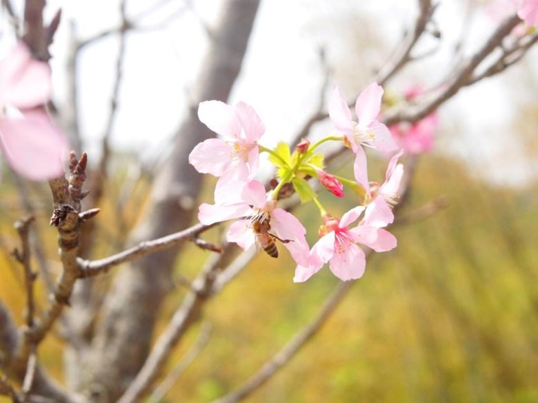 富士櫻與蜜蜂 | 粉嫩粉紅的櫻花 | 日本味 | 芬園鄉139縣道 | ふんえん | ジャンホワ | RoundtripJp