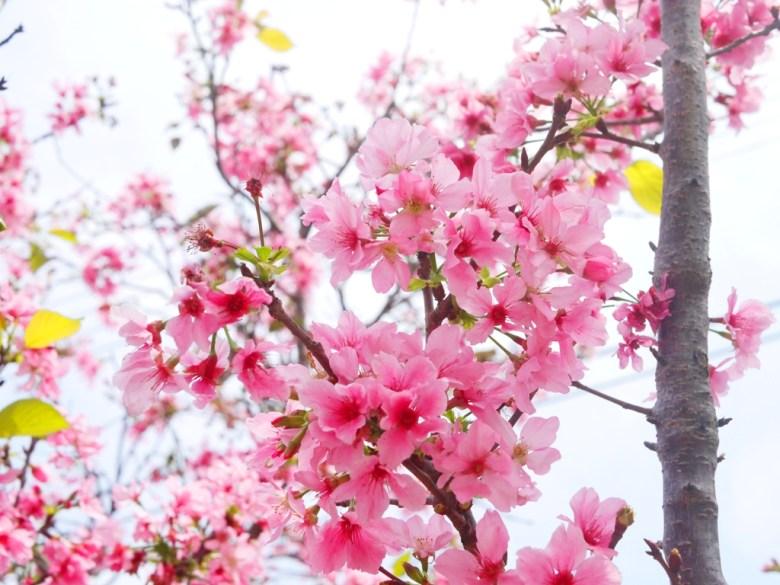 嬌豔的富士櫻 | 粉紅粉嫩 | 清新自然的縣道 | 芬園鄉139縣道 | Fenyuan | Changhua | 巡日旅行攝