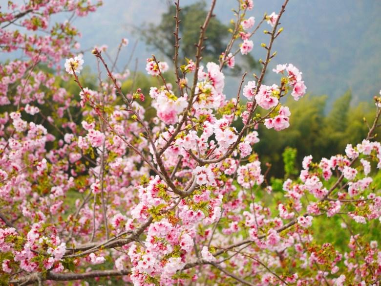 白裡透紅 | 粉紅少女系 | 吉野櫻 | Sakura | 南投八卦茶園 | 竹山 | 南投 | 巡日旅行攝