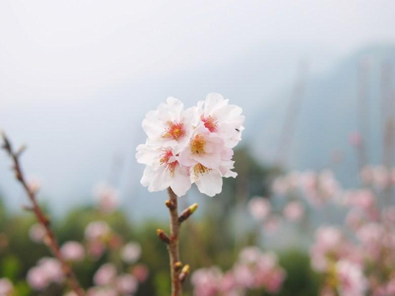 純白潔淨 | 高雅清新 | 美麗吉野櫻 | 青山 | 霧氣環繞 | 軟鞍八卦茶園 | ジューシャン | Zhushan | Nantou | RoundtripJp