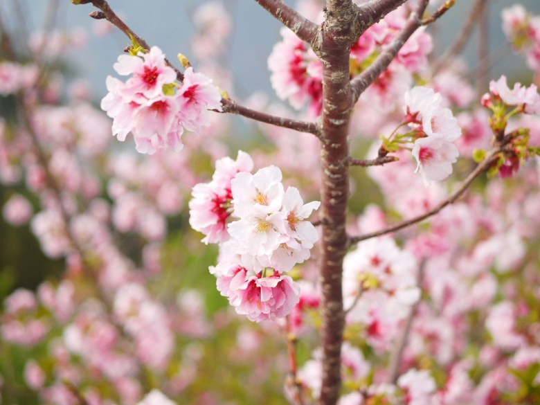 春天的禮物 | 美不勝收 | 吉野櫻 | 櫻花海 | 軟鞍八卦茶園 | ジューシャン | Zhushan | Nantou | RoundtripJp