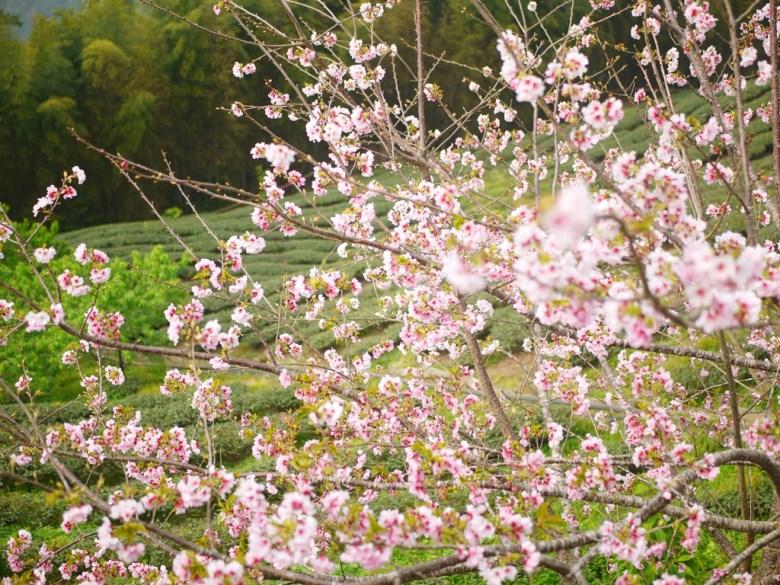 櫻花與茶樹 | 層層環繞的茶園 | 絕美的吉野櫻 | 南投八卦茶園 | 竹山 | 南投 | 巡日旅行攝