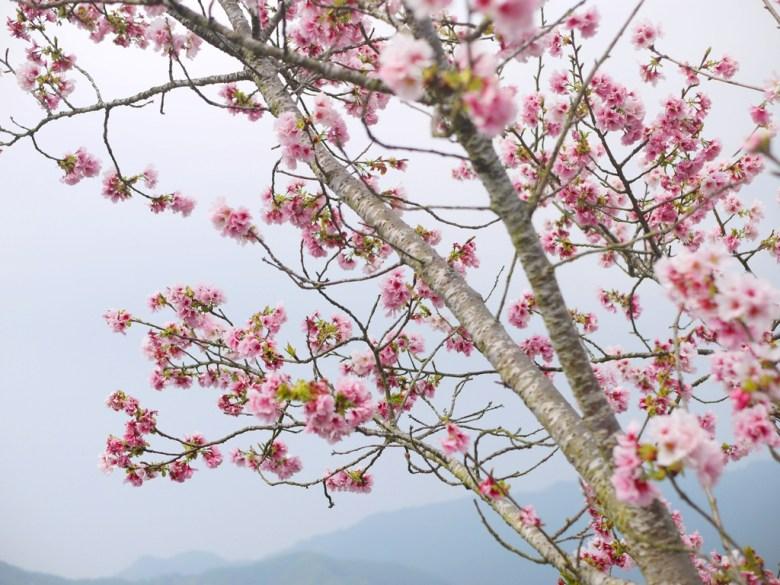 被高山雲霧擁抱的吉野櫻 | Sakura | さくら | サクラ | ジューシャン | Zhushan | Nantou | RoundtripJp