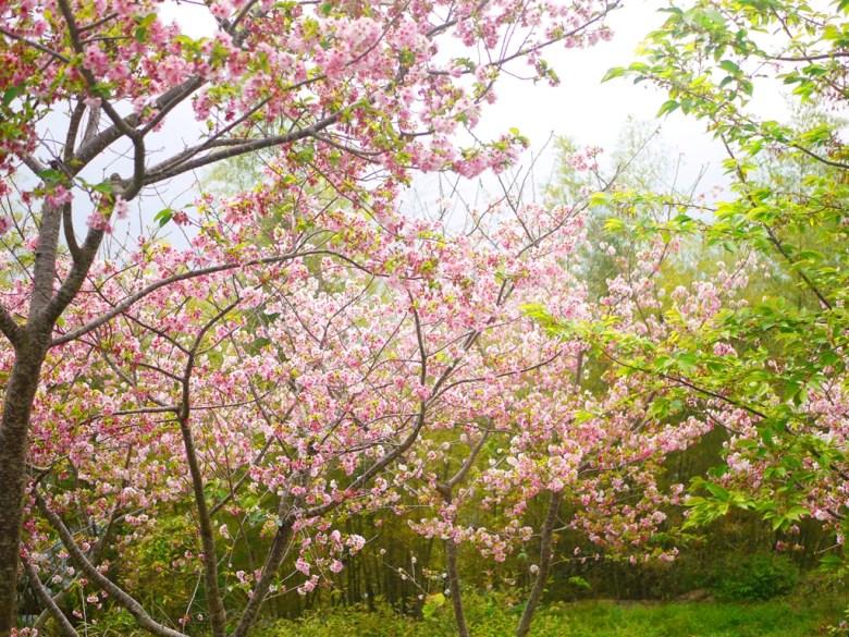 櫻花與竹林 | 高山雲霧 | 海拔1,300公尺 | 南投八卦茶園 | 竹山 | 南投 | 巡日旅行攝