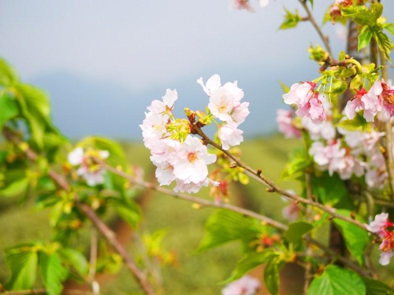 吉野櫻與茶園 | 縱橫連貫 | 絕美櫻花與茶園 | 南投茶鄉 | Zhushan | Nantou | RoundtripJp