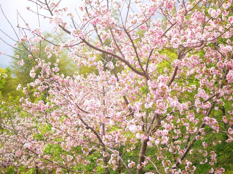 滿滿的櫻花 | 吉野櫻 | 盛開 | 日本味 | 賞櫻 | 南投茶鄉 | Zhushan | Nantou | RoundtripJp