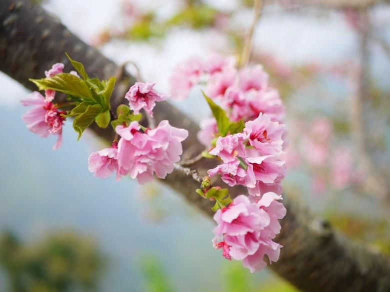 粉紅的吉野櫻 | 高山櫻花 | 高山茶園 | Zhushan | Nantou | RoundtripJp