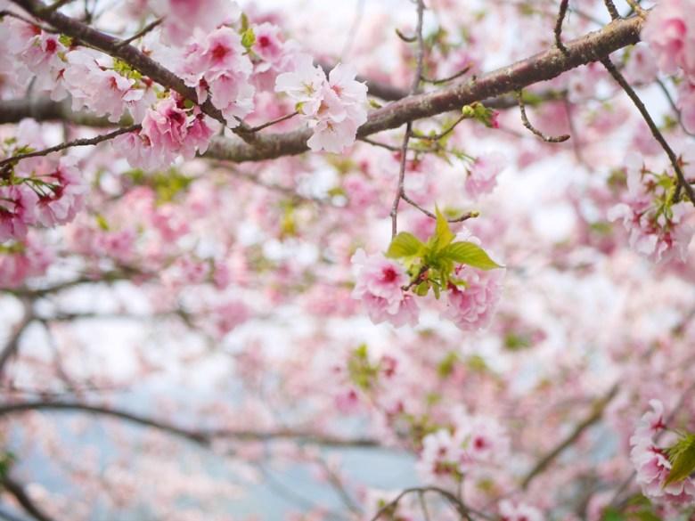 粉紅色天空 | 櫻花海 | 吉野櫻 | 南投八卦茶園 | 竹山 | 南投 | 巡日旅行攝