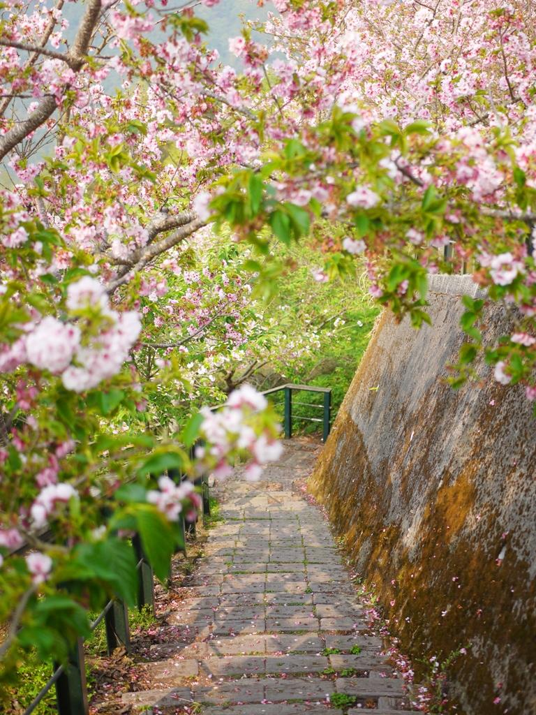 吉野櫻隧道 | 滿開的吉野櫻 | 粉嫩夢幻 | 網美拍照熱點 | 南投八卦茶園 | 竹山 | 南投 | 巡日旅行攝