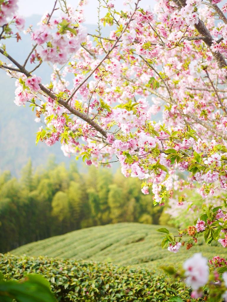 整齊劃一的茶園 | 吉野櫻 | 粉嫩與鮮綠 | 新綠 | 春天 | Zhushan | Nantou | RoundtripJp