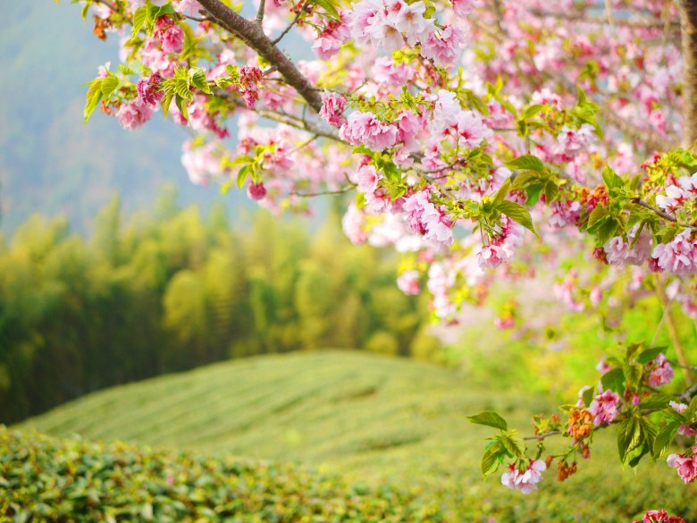 一抹新綠 | 高山茶鄉 | 吉野櫻 | 粉色與新綠 | 南投八卦茶園 | Zhushan | Nantou | RoundtripJp