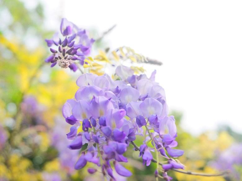美麗的紫色 | 浪漫紫藤花 | 苑裡 | 苗栗 | ユエンリー | ミアオリー | RoundtripJp