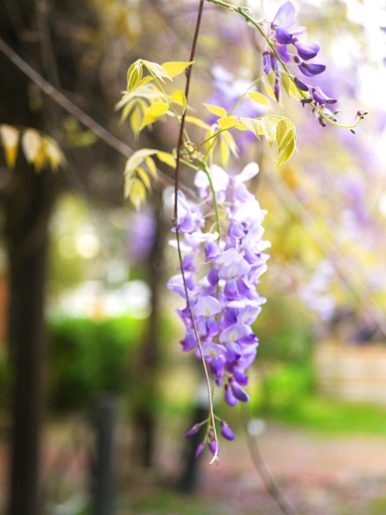 紫藤花 | 浪漫的紫色 | 美麗動人 | 苑裡 | 苗栗 | ユエンリー | ミアオリー | 巡日旅行攝