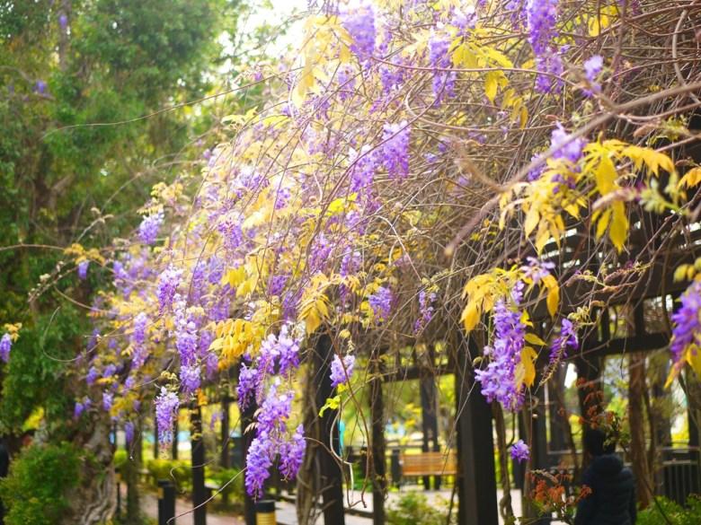 浪漫紫藤花隧道 | 網美拍照景點 | 山腳國小 | 苑裡 | 苗栗 | ユエンリー | ミアオリー | 巡日旅行攝