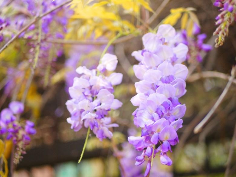 紫藤花 | 紫戀紫藤 | 高雅的紫藤花 | Yuanli | Miaoli | ユエンリー | ミアオリー | RoundtripJp