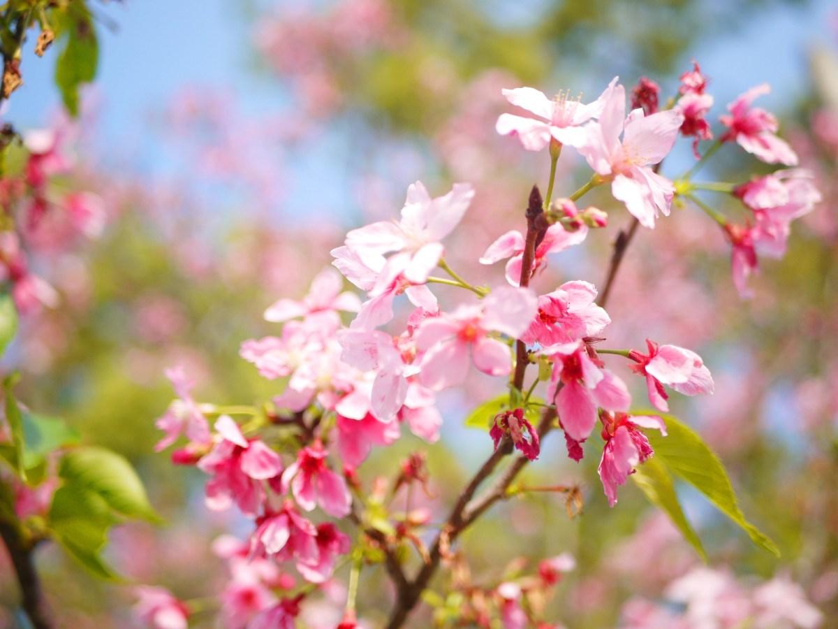粉嫩粉紅的八重櫻 | 山櫻 | Sakura | さくら | サクラ | 銅鑼 | 苗栗 | トンルオ | ミアオリー | 巡日旅行攝