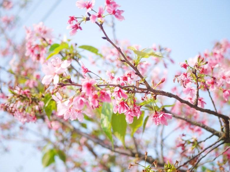 櫻與青空 | 山櫻 | 八重櫻 | Sakura | さくら | サクラ | 銅鑼 | 苗栗 | トンルオ | ミアオリー | RoundtripJp