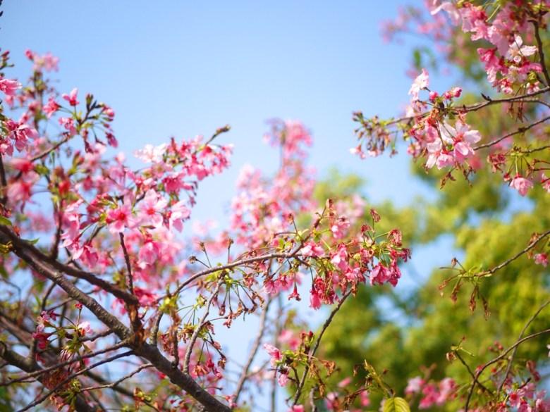 櫻花與藍天 | 八重櫻 | 山櫻 | Sakura | さくら | サクラ | 銅鑼 | 苗栗 | トンルオ | ミアオリー | 巡日旅行攝