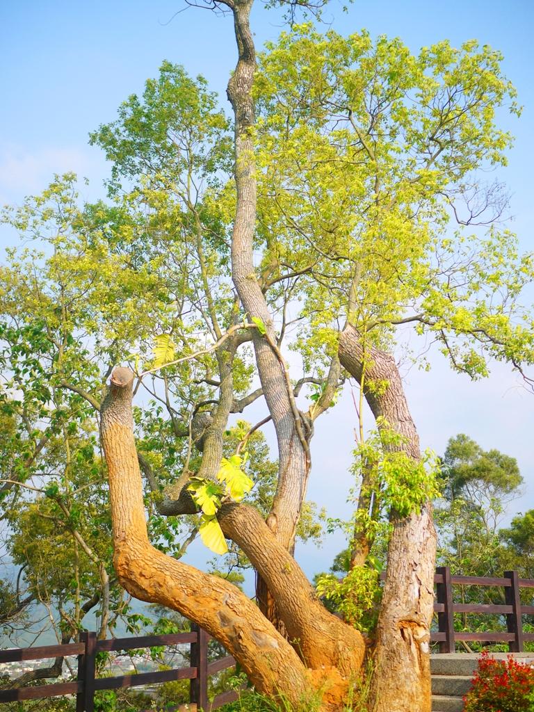 奇特壯觀的巨樹 | 天很藍 | 自然清新 | 銅鑼環保公園 | 銅鑼 | 苗栗 | トンルオ | ミアオリー | Tongluo | Miaoli | RoundtripJp